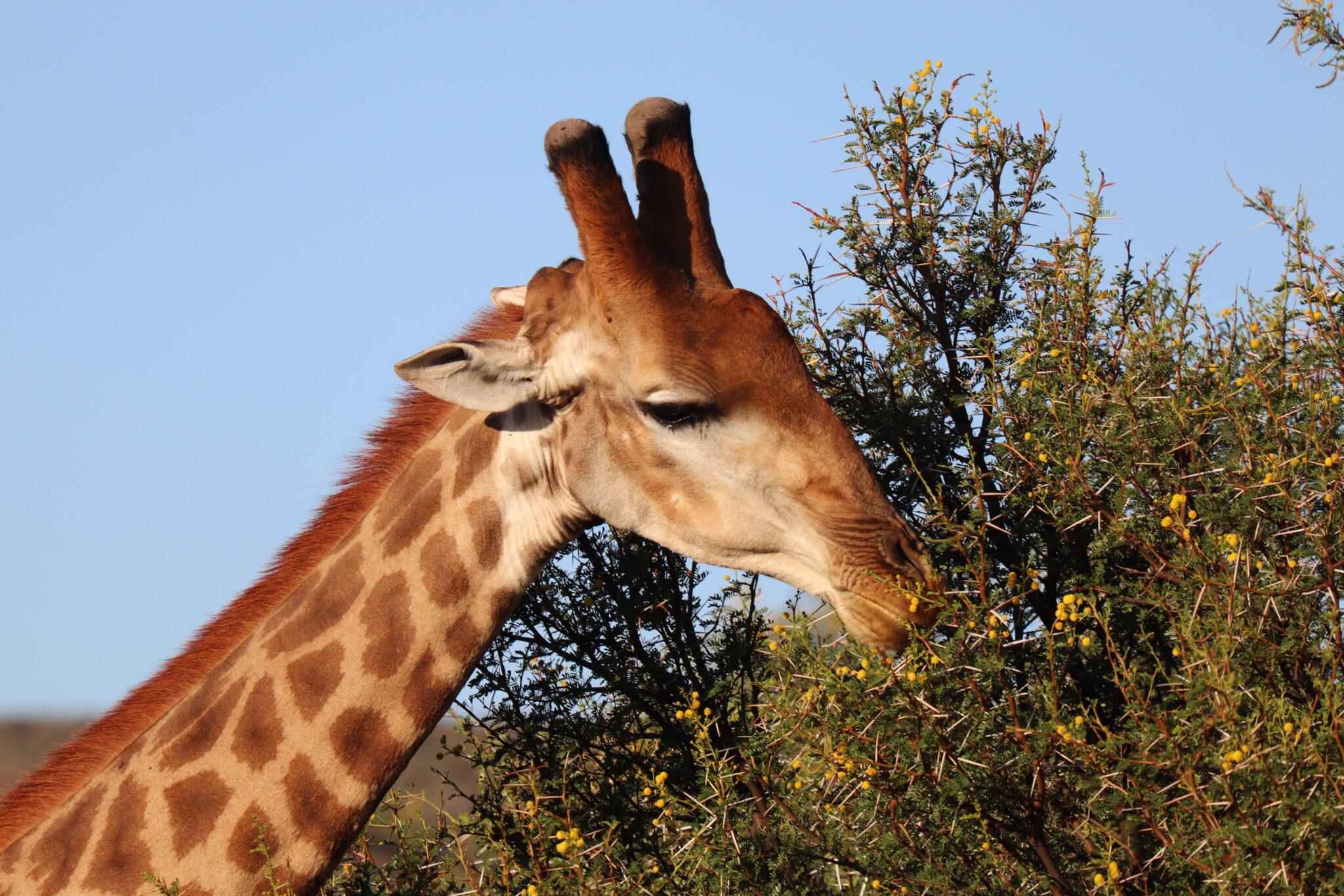 Girafffe in Südafrika