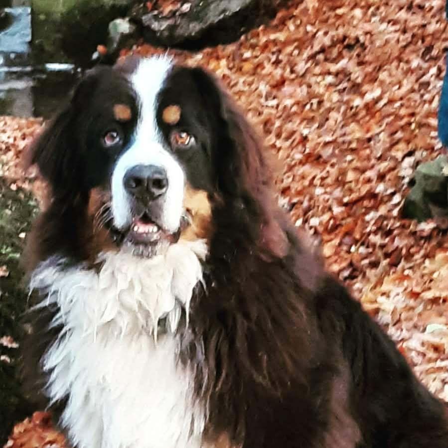 Berner Sennenhund 3 Jahre