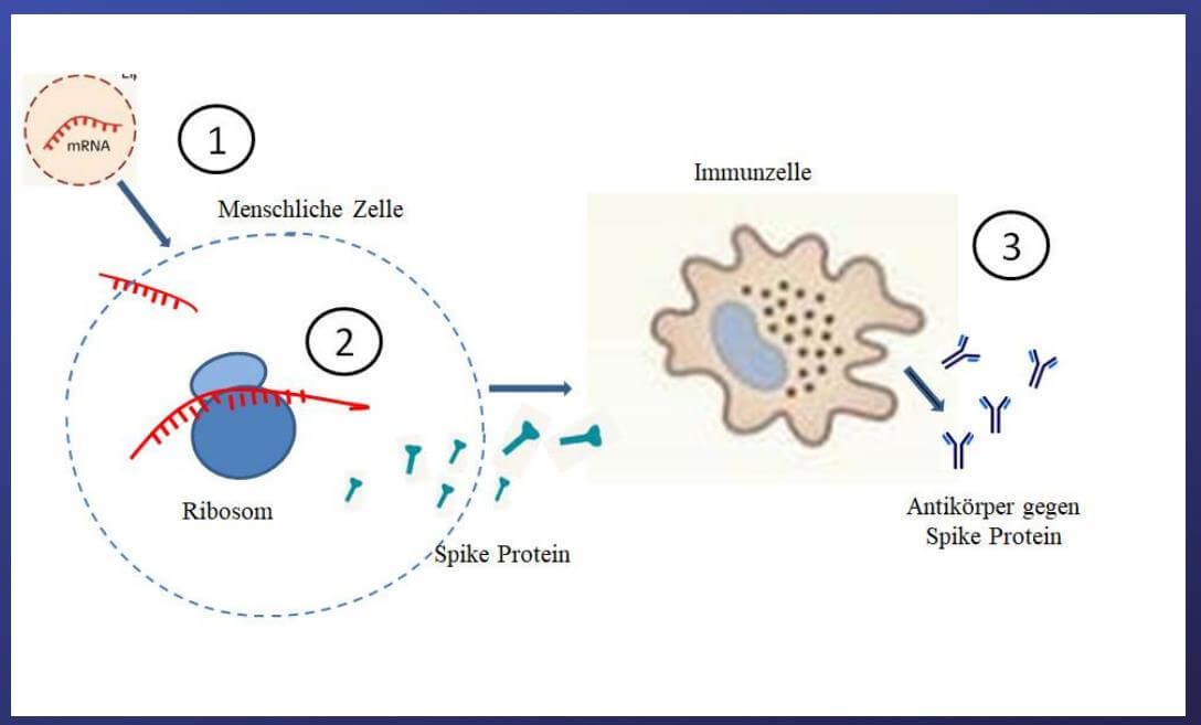 Impfstoff Corona Wirkmechanismus